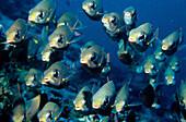 Fischschwarm, Snapper, Indischer Ozean Malediven