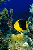Kaiserfisch, Caribbean Sea Underwater