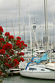 Auckland's yachting harbour, Jachthafen, Auckland, North Island, pohutukawa