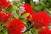 Pohutukawa flower, (Rata) close-up, red flowers, native Pohutukawa tree, New Zealand