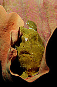 Riesen-Anglerfisch, Kroetenfisch, Giant frogfish, A, Antennarius commersonii