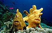Two Giant frogfishes, Antennarius commersonii