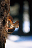 Red Squirrel on tree, Germany