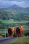 Highland cattle on the road, Highland Scotland