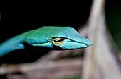 Snake Baumschnueffler, Borneo, Malaysia, Asia