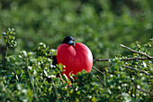 Male Frigate bird with red gular pouch that is inflated during the breeding season to attract a mate, Heart, Galapagos, Ecuador, South America