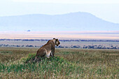 Lioness on the lookout, watching Wildebeests, Serengeti National Park, Tanzania