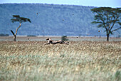 Cheetah hunting, Serengeti National Park, Tanzania