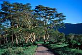 Yellow Acacia, Ngorongoro Crater Tanzania, Africa