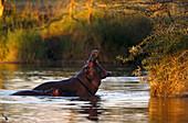 Hippopotamus, East Africa