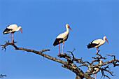 Weißstörche, Serengeti National Park, Tansania, Ostafrika