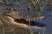 Estuarine crocodile, saltwater crocodile in the wild, the largest reptile, close-up, Northern Territory, Australia