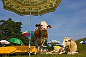 Cows under sunshades, beach, Upper Bavaria, Germany