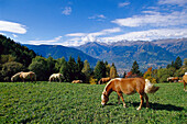 Haflinger horses grazing on an alpine meadow, South Tyrol, Italy, Europe