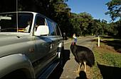 Cassowary standing near car, street in the forest, Queensland, Australia