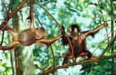 Two Orangutans babies in the trees, Pongo Pygmaeus, Gunung Leuser National Park, Sumatra, Indonesia, Asia