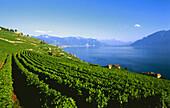 Weinberg, St. Saphorin bei Genfer See, Schweiz