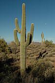 Cactus under a blue sky, Apache Trail, Arizona, USA