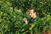 Winegrower amidst vines, Wachau, Austria, Europe