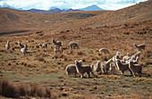 Alpakas in karger Hügellandschaft, Abancay, Peru, Südamerika, Amerika