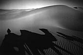 Camel shadows, Grand Erg Occidental Sahara, Algeria