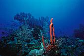 Corals, Underwater picture, Caribbean