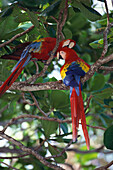 Scarlet Macaws grooming each other, Ara macao, Central Amerika
