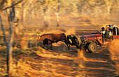 Aboriginal stockmen, Gibb River Station, Kimberle, Australien, West Australien, WA, Outback, North-West, Kimberley, Aboriginal stockmen catching wild bulls, on Gibb River Station