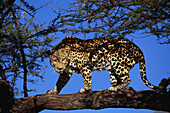 Leopard on a branch of a tree, Panthera pardus pardus, Namibia, Africa