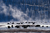 Bisons in winter at Yellowstone National Park, Wyoming, USA, America