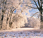 Deciduous Forest with white frost in winter, Upper Bavaria, Germany