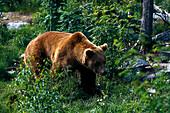 Brown bear between trees, Katmai National Park, Alaska, USA, America
