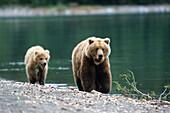 Grizzly Bears, Mother with cub, Ursus Arctors, Katmai National Park, Alaska, USA