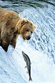 Grizzly trying to catch Salmon, Ursus arctors, Brooks River, Katmai Nationalpark, Alaska, USA