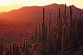 Saguaro Kakteen in der Abendsonne, Sonora Wüste, Arizona, USA, Amerika