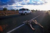 Wildunfall, Weisswedelhirsche, ueberfahren am Strassenrand Arizona, USA