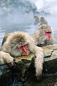Snow monkeys bathing in hot spring, Japanese Alps, Japan