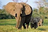 African Elephants, Loxodonta africana, Amboseli Nationalpark, Kenya, East Africa