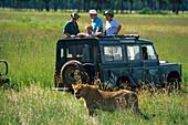 Lion Safari tour with jeep, Masai Mara, Kenya, Africa