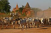 Oxen between temple buildings, Ochsenherde zwischen Tempeln, Weltkulturerbe, Oxen pass between temples in Bagan, World Heritage