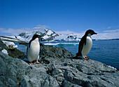 Adelie Penguins, Hope Bay, Antarctica