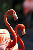 Red Flamingos, Animals