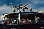 Auto mit Moewen, Oriental Bay, Wellington, Nordinsel Neuseeland