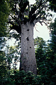 Tane Mahuta, groesster Kauribaum, Waipoua Forest, Northland Nordinsel, Neuseeland