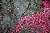 Floating cherry blossom petals in water, Tokyo, Japan