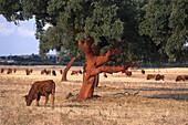 Cork Oak and cows, near Portel, Alentejo, Portugal