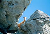 Goat between rocks, Naxos, Cyclades, Greece