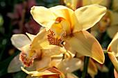 Orchid, Quinta da Boa Vista, Funchal, Madeira, Portugal