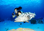 Large fish with diver, Epinephelus, Potato Cod, Cod Hole, Ribbon Reef, Great Barrier Reef Queensland, Australia