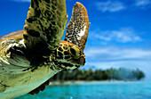 Sea Turtle looking at the camera, Rangiroa, Tuamotu, French Polynesia